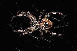 garden_spider_underside.jpg