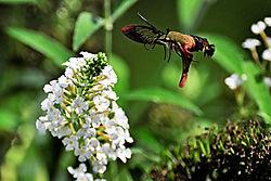 hummingbird_moth_1_resized.jpg