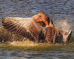 mating_geese.jpg
