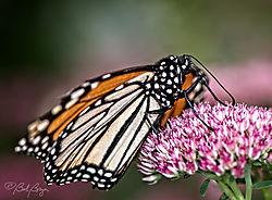 monarch-21.jpg