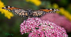 monarch-in-face-1.jpg