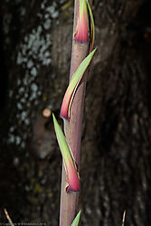 new_yucca_flower_spike_2.jpg