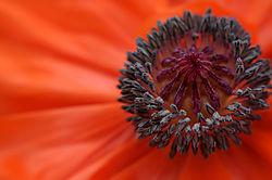orange_poppy1.jpg