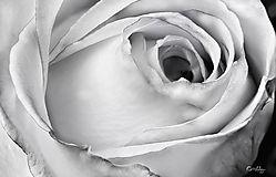 pink_rose8_image_bw_sm.jpg