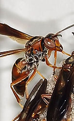wasp11.jpg