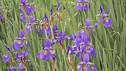 wild_irises-2-2.jpg