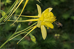 yellow_columbine_and_bee_3.jpg