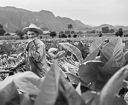 Cuban_tobacco_field_worker-6627.jpg