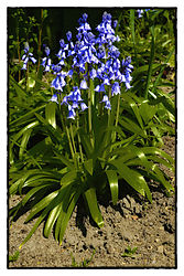 Blue_Bells_19.jpg