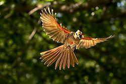 Immature_Female_Cardinal_in_Fight_3_June_2020.jpg