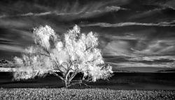 Colorado-Desert-Willow-BW.jpg