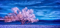 Colorado-Desert-Willow-Color.jpg
