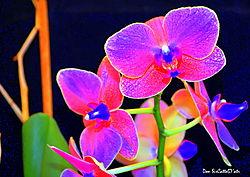 Orchid_98_S5.JPG