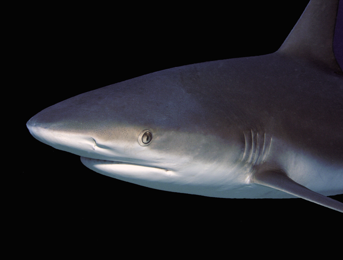 sharkportrait2