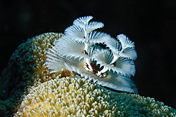 Bonaire_white_Christmas_tree_worm_C1.jpg
