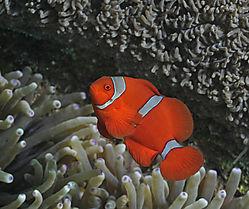 Clownfish_in_Ambon.jpg