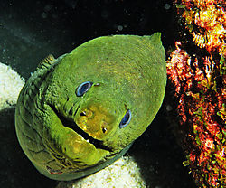 Happy_green_moray.jpg