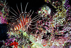 Hawaii_Lionfish.jpg