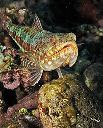 Lizard_Fish.JPG