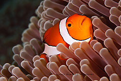 b-False_Clown_Anemonefish.jpg