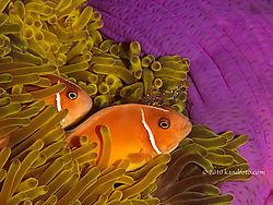 b-Pink_Anemonefish2.jpg