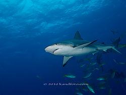 b-Reef_Shark.jpg