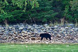 Black_Bear3.jpg