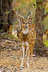 Chital_Deer_2.jpg