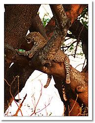 Leopard_in_tree.jpg