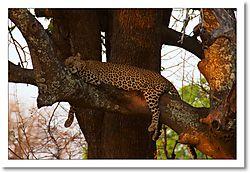 Leopard_in_tree_again.jpg