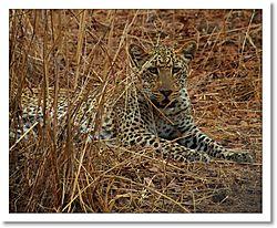 Leopard_resting.jpg