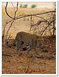 Leopard_walking.jpg