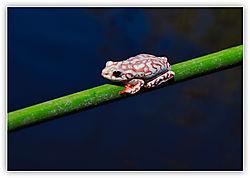 Ok_Frog.jpg