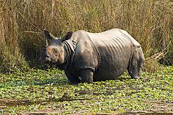 One_horned_rhino.jpg