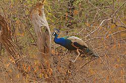Peacock8.jpg