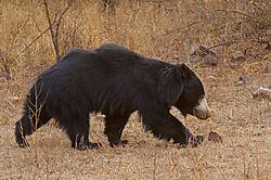 Sloth_Bear_1.jpg