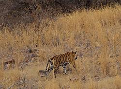 Tiger16.jpg