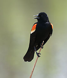 red_winged_blackbird.jpg