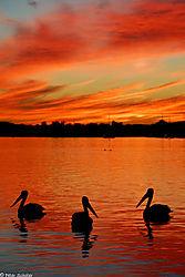Noosa_River_sunset_pelicans.jpg