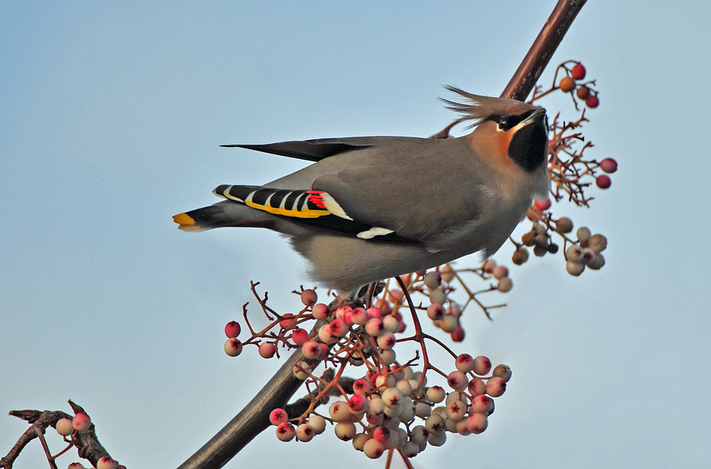 DSC_6877_Waxwing_-_a_rare_visitor