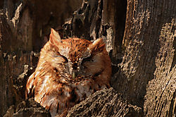 Eastern_Screech-Owl.jpg