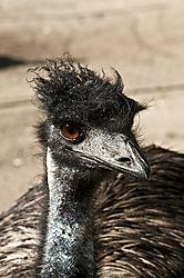 Emu1.jpg