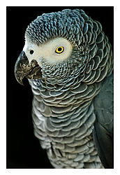 Grey-Parrot.jpg