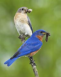 Ma_Pa_Bluebird.jpg