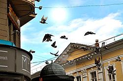 Pigeons_in_Flight.JPG
