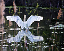 Swan_Wings_joe_gazzarato_.jpg