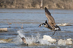 Wild_Goose_Fight_1_of_2_.jpg