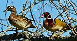 Wood_Duck_Couple.jpg