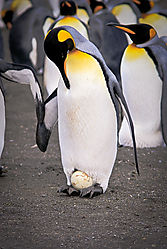 antarcticakingegg.jpg