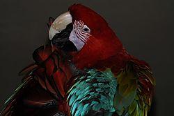 green_winged_macaw_preening.jpg